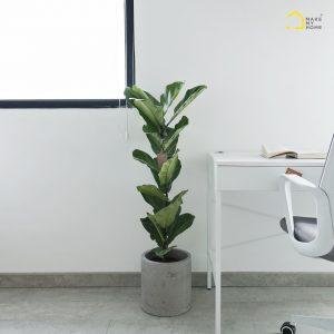 chăm sóc cây bàng singapore nội thất