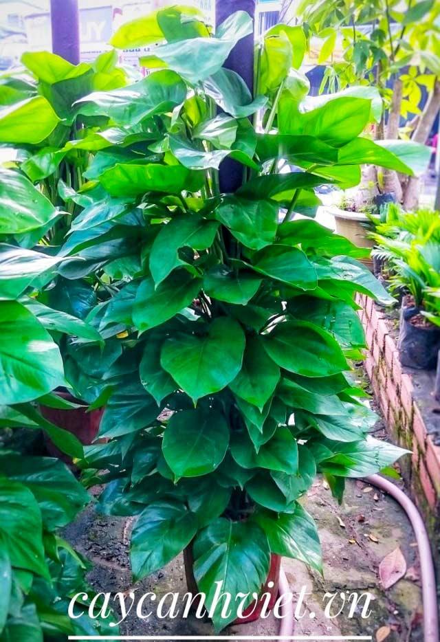 cây trầu bà Đài Loan
