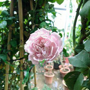 hoa hồng phớt hồng