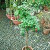 hoa hồng thân gỗ nguyên bản