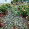 hoa hồng thân gỗ nguyên bản màu phớt hồng