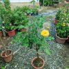 hoa hồng thân gỗ vàng nguyên bản