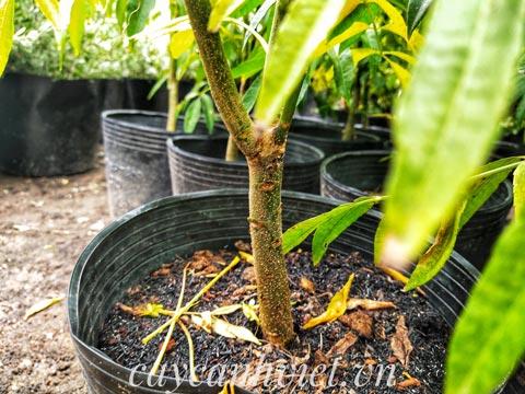 Thân cây cóc Thái