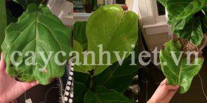 chăm sóc cây bàng singapore lúc rụng lá