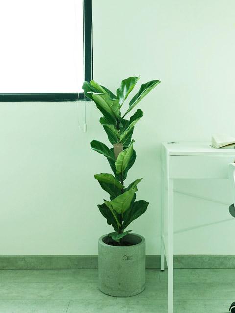 cây bàng sing trong nội thất