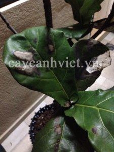 cách chăm sóc cây bàng singapore bị đen lá