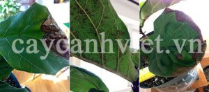cách chăm sóc cây bàng singapore-dấu hiệu hư lá