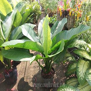 cây đại phú gia tại vườn hcm