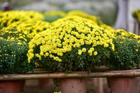 cúc mâm xôi được trồng nhiều ở Đồng Tháp