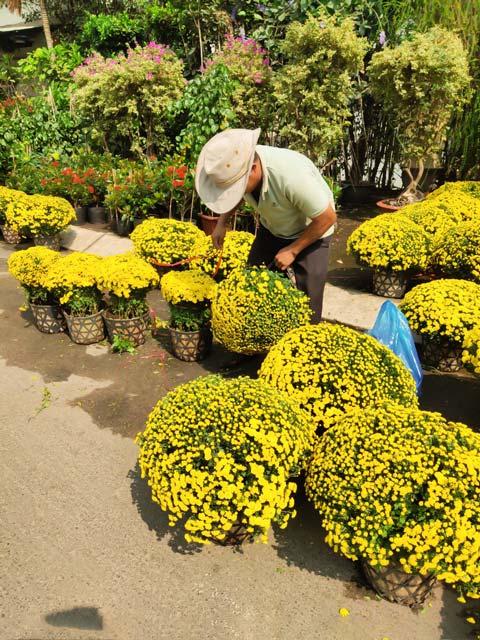 Lựa hàng hoa cúc mâm xôi cho khách