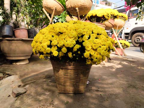 Hoa cúc mâm xôi vàng nở rộ những ngày cận tết