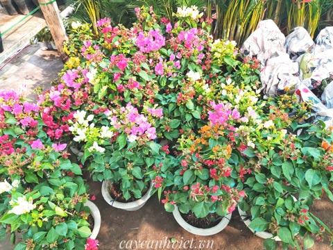 Những cây bông giấy mix 3 màu tại vườn phục vụ Tết