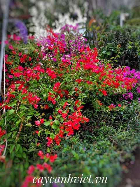 Cây hoa giấy đỏ