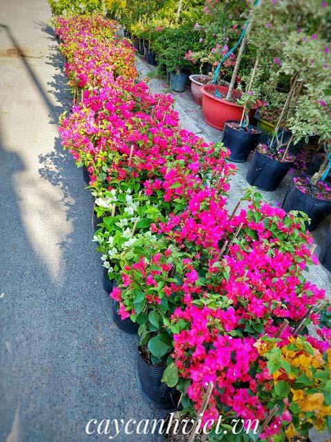 Hoa giấy đủ màu trồng hàng rào