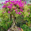hoa giấy hồng cẩm thạch