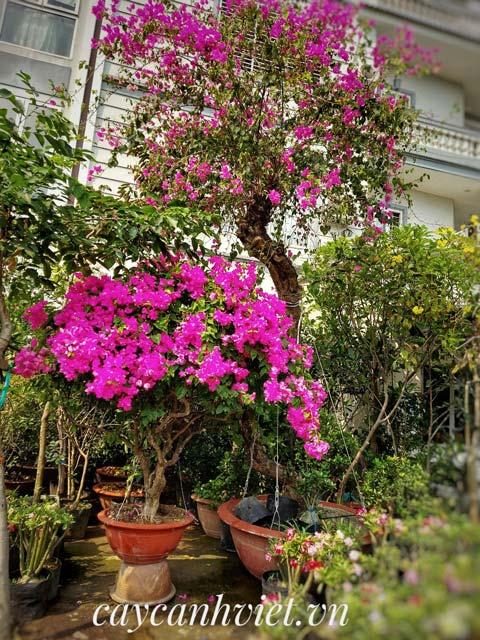 Cây hoa giấy hồng