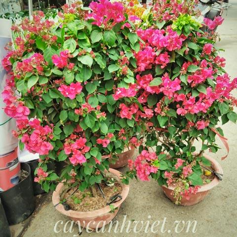 hoa giấy hồng chưng tết