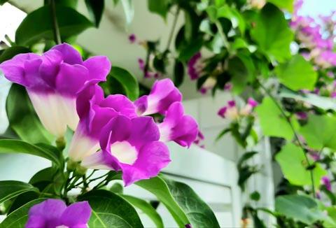 hoa cây lan tỏi