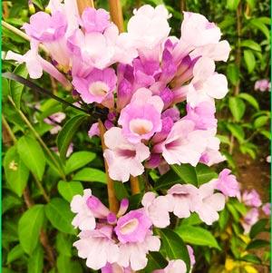 cây hoa lan tỏi