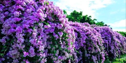 Cây lan tỏi leo giàn nở hoa quanh năm