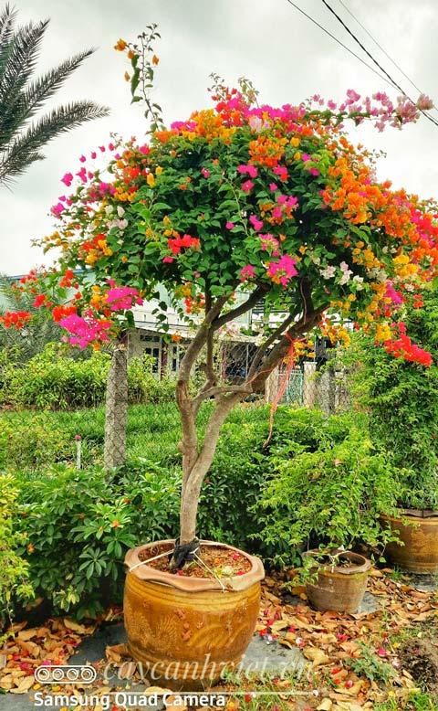 cây hoa giấy thái đẹp