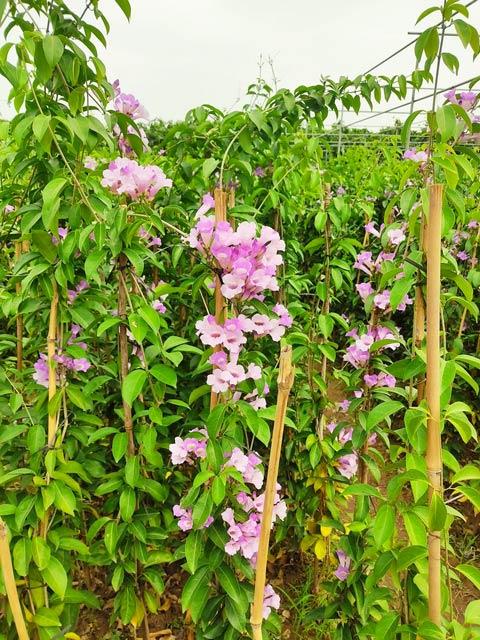 Giống cây hoa lan tỏi lớn
