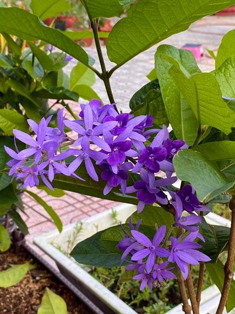 hoa của cây mai xanh