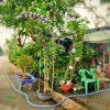 cây mai xanh thái cao 4m