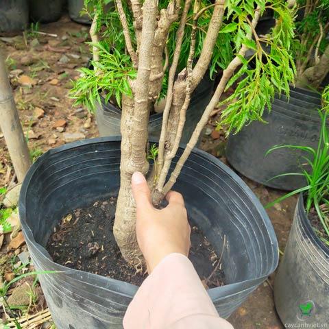 gốc cây đinh lăng