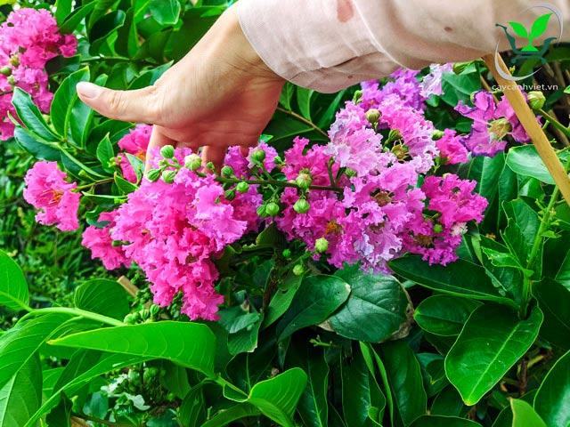 hoa bằng lăng thái