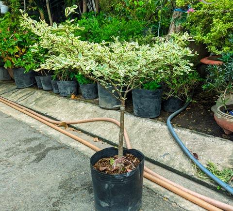 cây bàng cẩm thạch