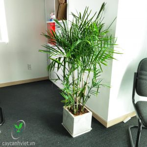 cây cau hawai