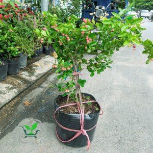 cây siro
