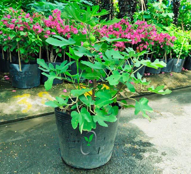 cây sung mỹ trồng chậu