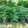 cây sung mỹ trồng chậu nhiều