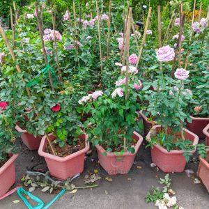 hoa hồng tím khói