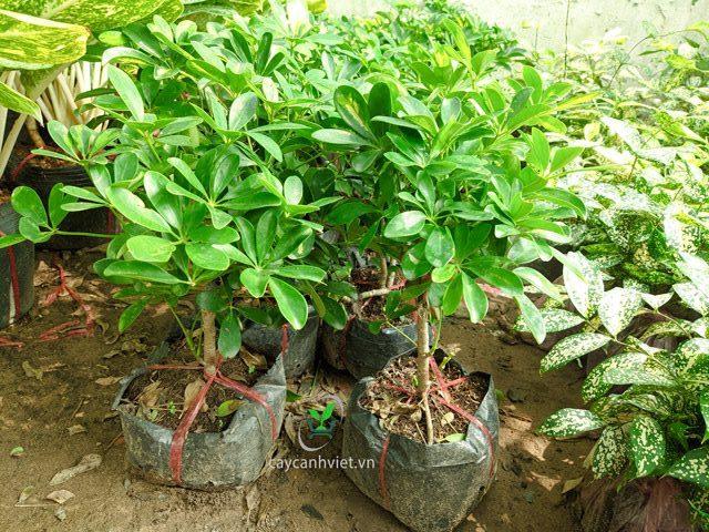 trồng cây ngũ gia bì