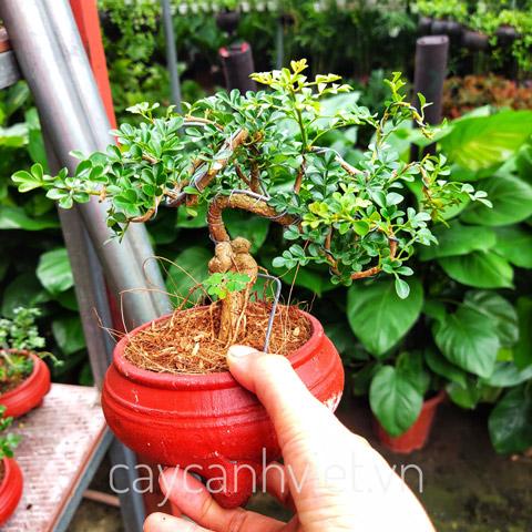 cây cần thăng bonsai dáng trực