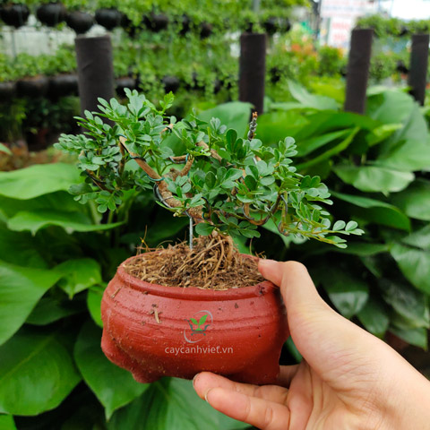 cần thăng bonsai mini