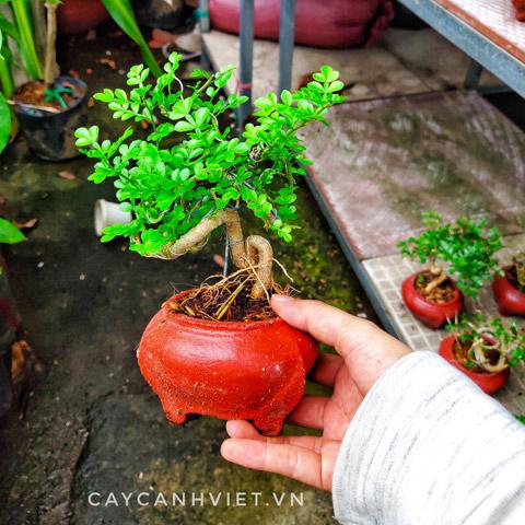 cây cần thăng bonsai mini