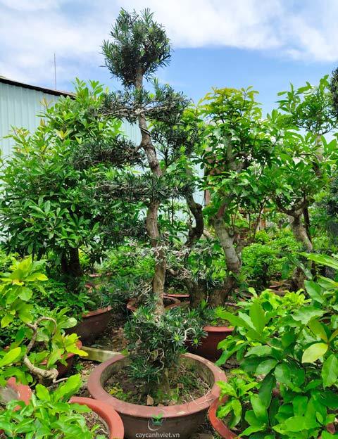 cây vạn niên tùng bonsai