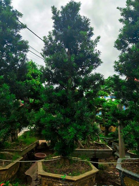 cây vạn niên tùng cổ thụ