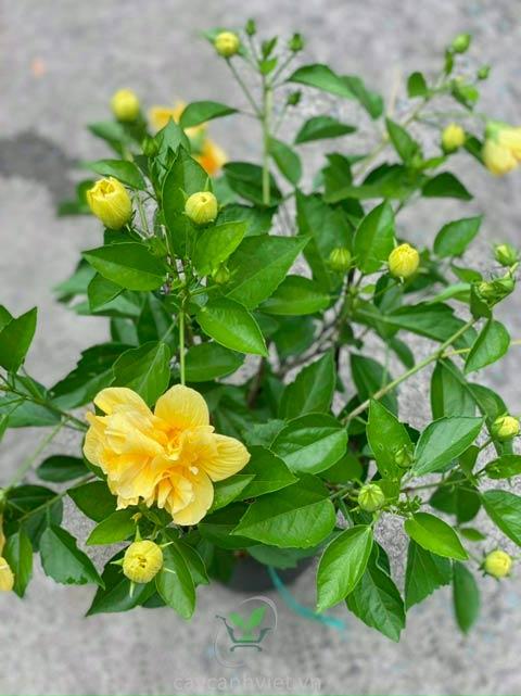cây hoa dâm bụt