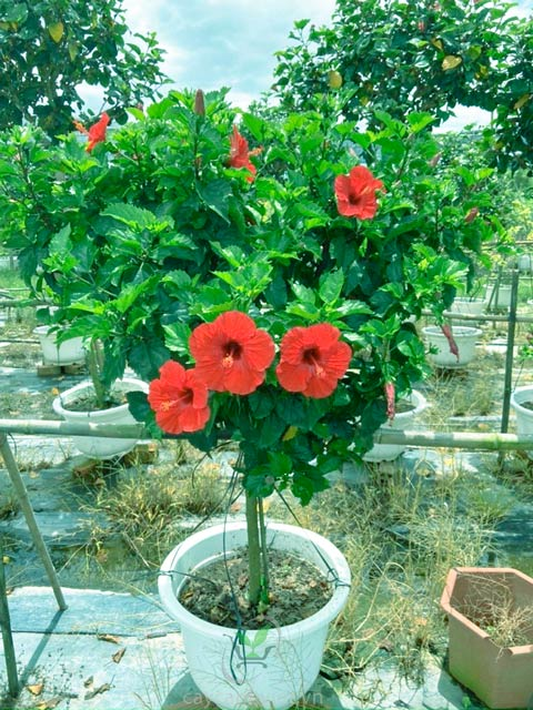 cây hoa dâm bụt thân gỗ
