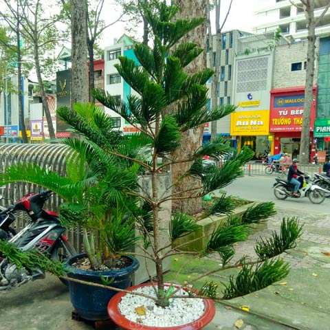 cây tùng bách tán